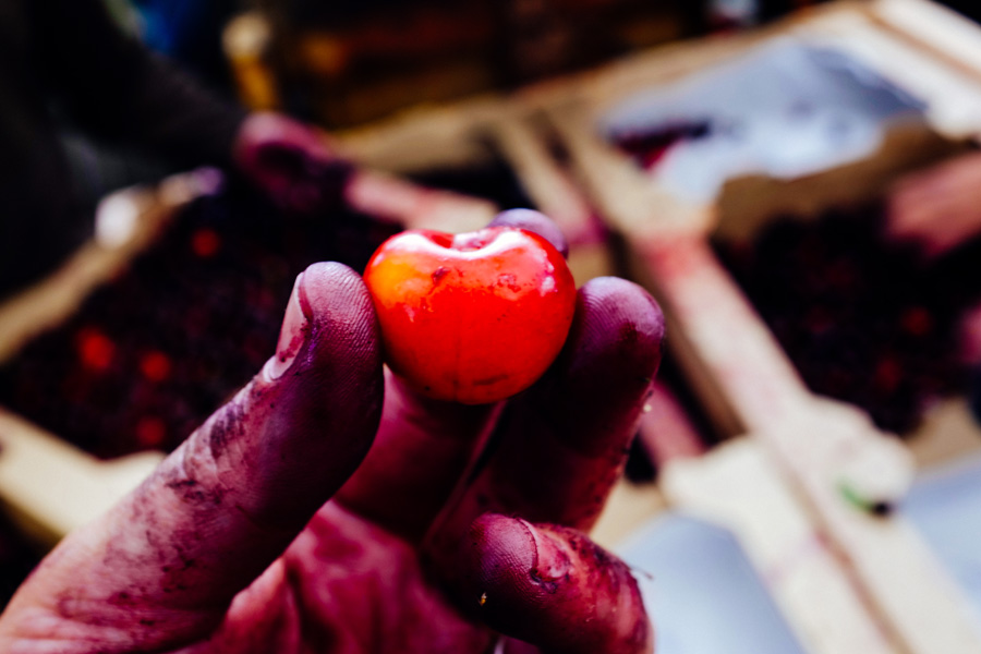 Photo of Cherry from harvest day. WildCraft Cider Works