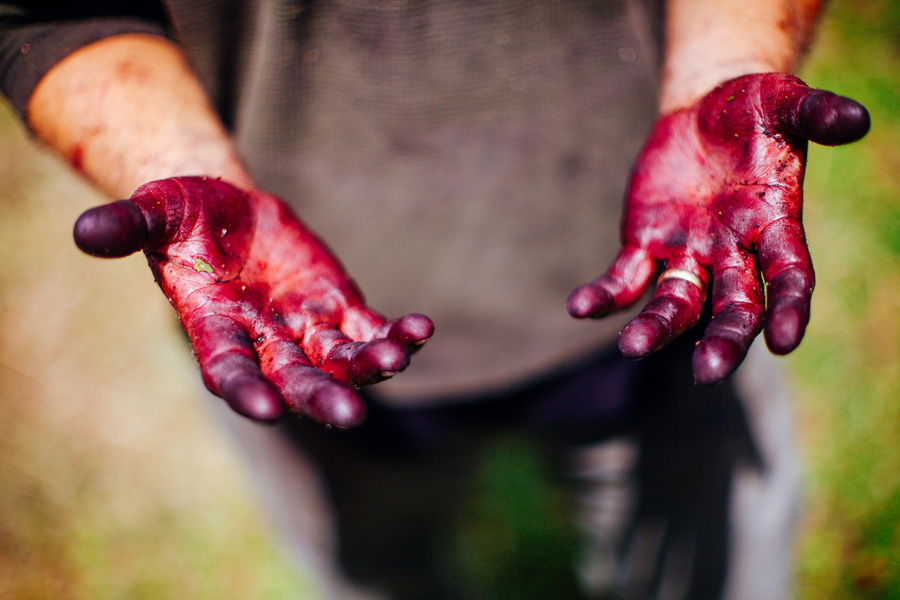 Hands stained with cherry juice from a long day of harvesting. WildCraft Cider Works hard cherry cider.