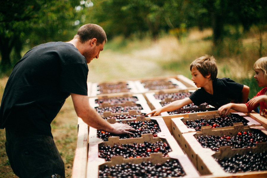 Sean Kelly of WildCraft Cider Works sorts cherries with the help of the kids