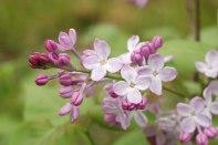 pink-lilacs8